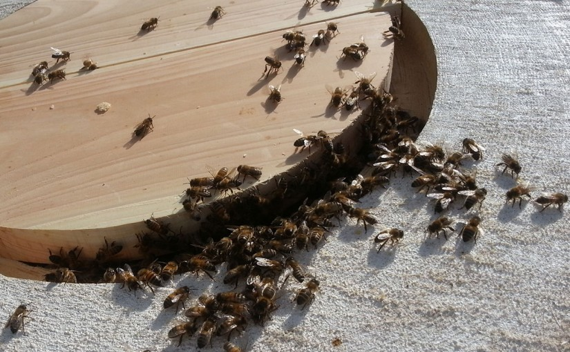 Running bees into a log hive