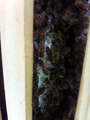 16th July. A month later the comb is nearly to the bottom of frame. Time to move them to another larger hive.
