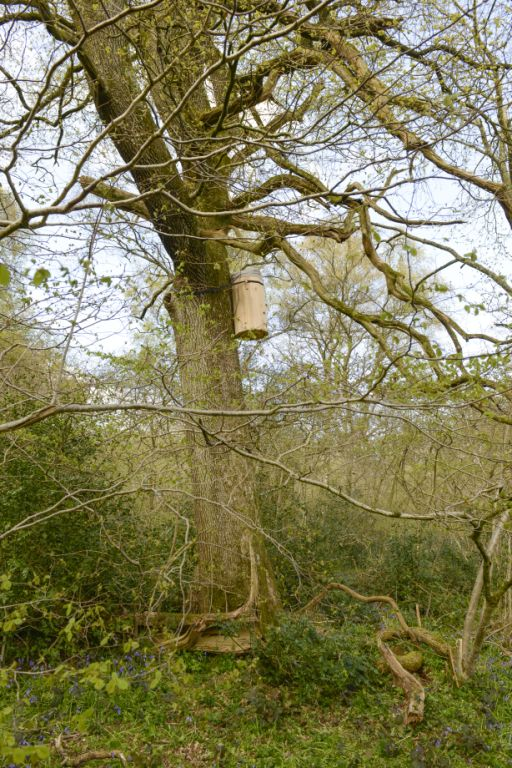 FREEDOM HIVE IN TREE April 2016 (21)