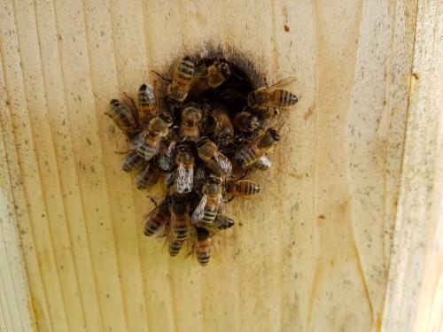 bees at entrance
